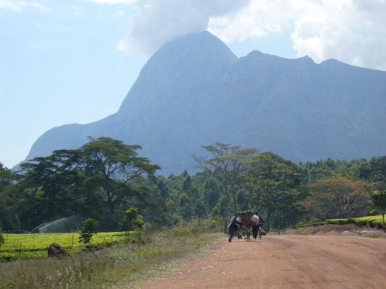 Mulanje, Malaui: Auf dem Weg durch Teeplantagen