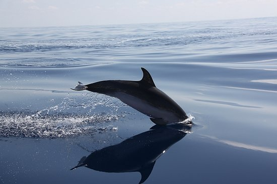 Sweet Sea - Whale Watching Tours: Common Dolphin