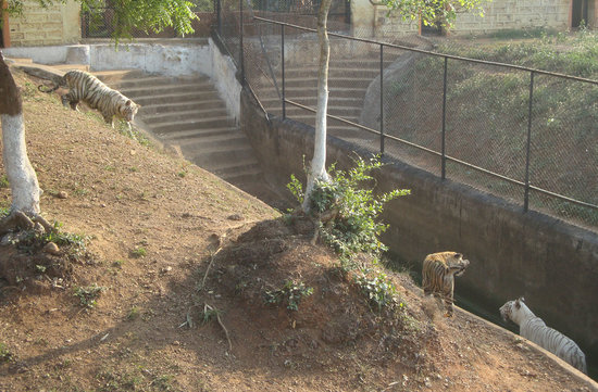 Nandankanan Zoological Park: Nandankanan Zoo Park, the white tiger family
