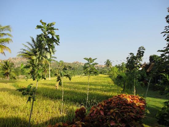 Shanthi Guesthouse: Blick aufs Reisfeld direkt vor der Tür