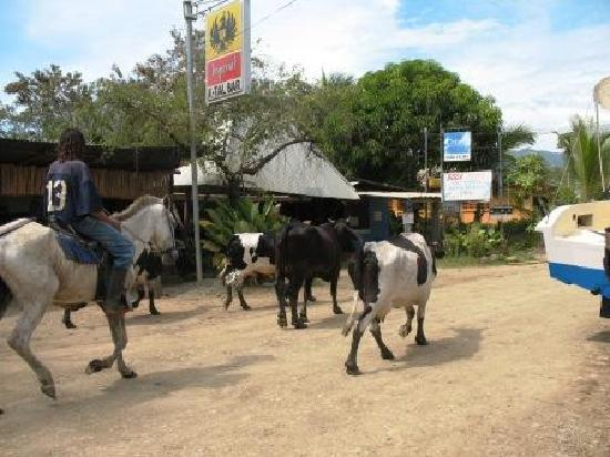 Uvita 360: Cattle round up on Uvita's main street