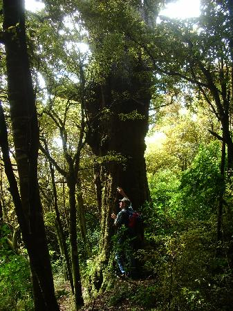 Catlins Mohua Park & Catlins Scenic & Wildlife Tours: Mohua Park 1000+ year old matai tree