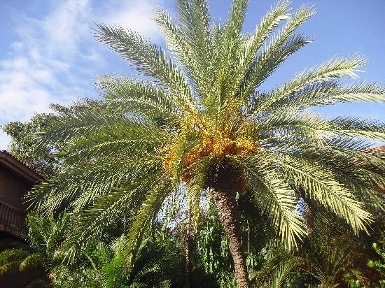 Costa Caribe Beach Hotel & Resort: Los arboles de datiles