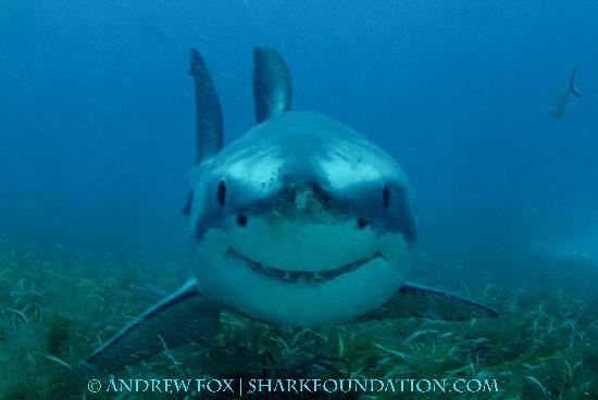 Port Lincoln, Australia: Introducing 'Chompy' the smiley shark!