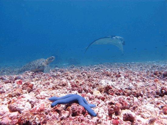 Kanawa Island Diving: even turtles like watching mantas
