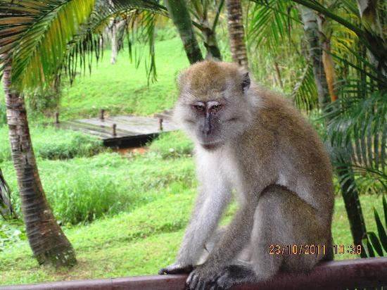 Club Med Bintan Island: Monkey that wakes me up in the morning