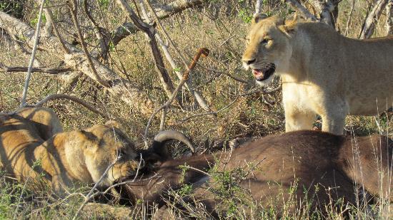 Jock Safari Lodge: Buffalo kill