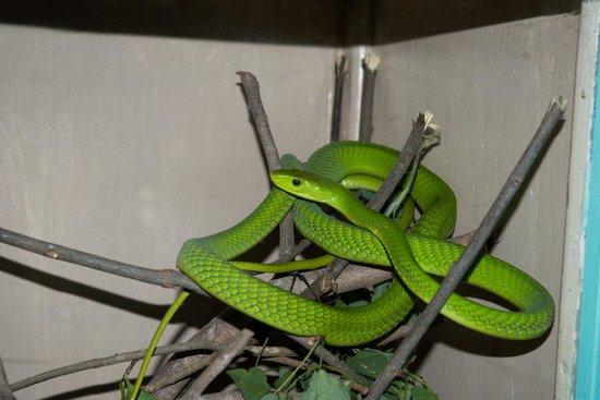 Ватаму, Кения: mamba verde