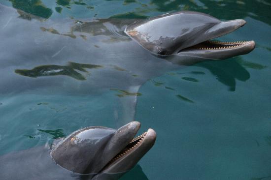 Delphinus Riviera Maya: Dolphins