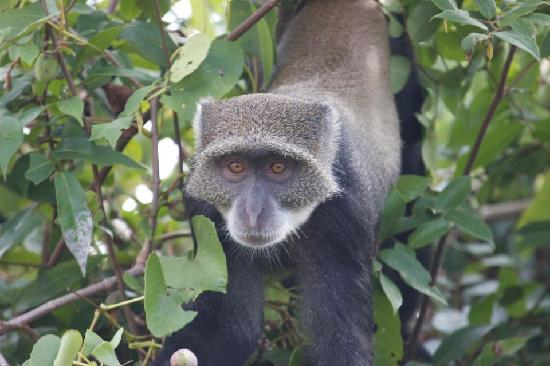 Kitu Kidogo Cottages: Blue Monkey in our bushes