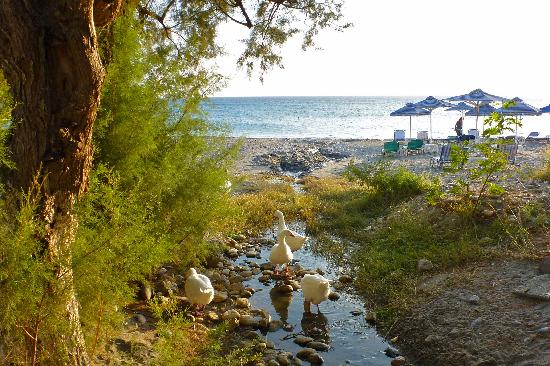 Morpheas Apartments: The famous Plakias beach ducks