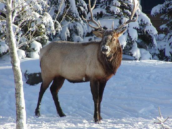 Homestead Bed & Breakfast: Elk in Backyard