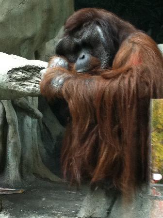 Erie Zoo: Orangutan