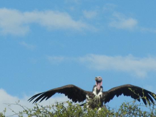 """Olare Orok Conservancy: """"Vulture"""""""