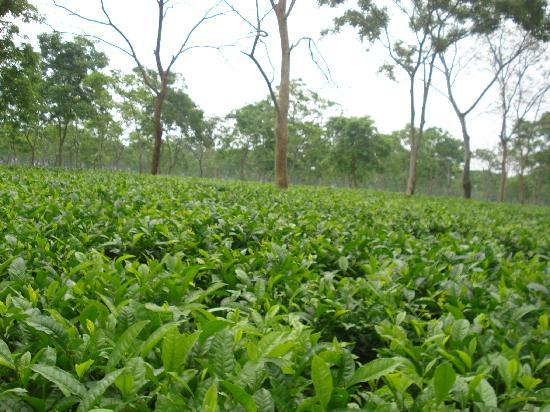 Wild Mahseer: tea estate