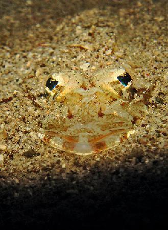 Portulano Dive Resort: Juvenile Crocodilefish