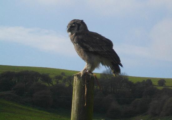 Appuldurcombe Farm: eagle owl