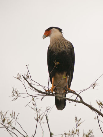 Alligator Cove Airboat Nature Tours: Caracara