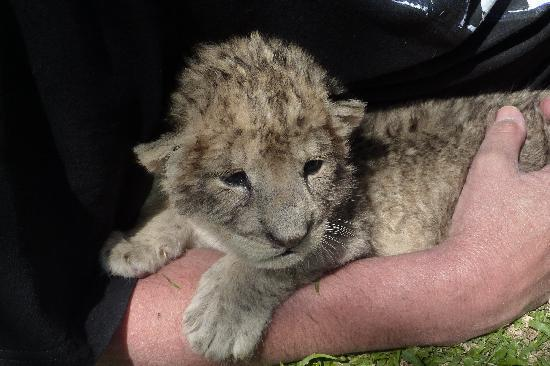 Very Cute 8 Day Old Lion Cub.