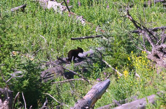 Yellowstone Lake: Bear cub in Yellowstone