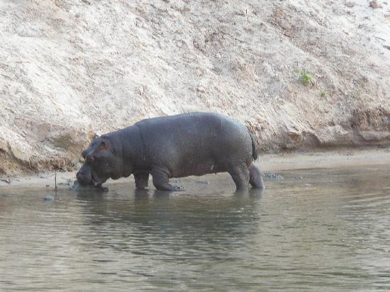 Chrismar Hotel : Hippopotame