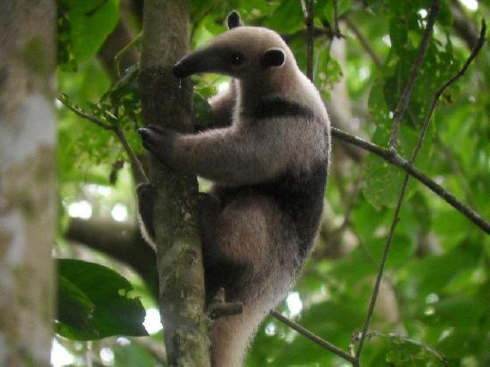 Surcos Tours: Anteater!