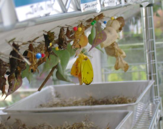 Butterfly Estates: Watching a butterfly birth!!
