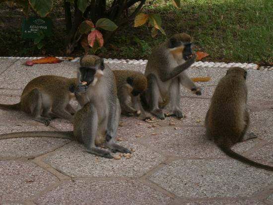 Serekunda, Gambie : Monkeys in the gardens of The Kairaba Beach Hotel