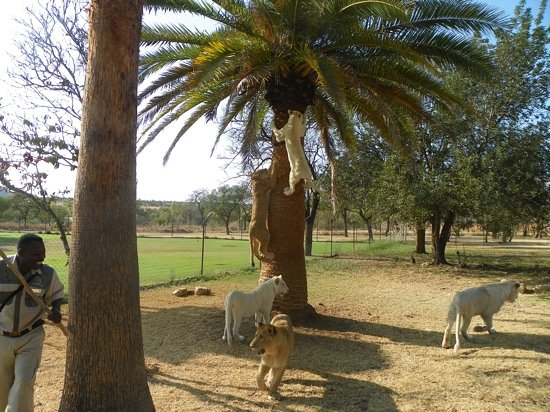 Polokwane, Sør-Afrika: Why you cannot climb a tree to escape a big cat...