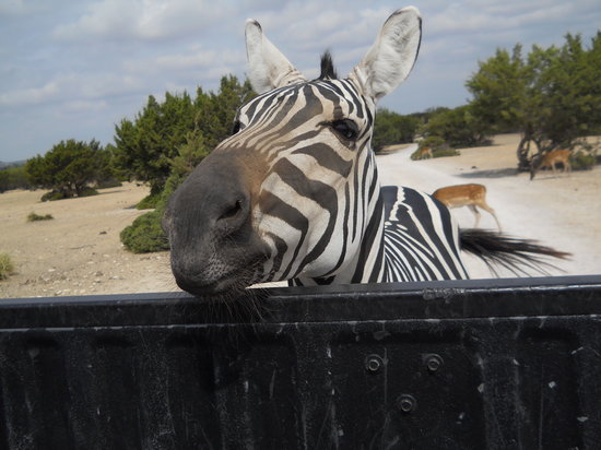 Copperas Cove, Техас: Zebra