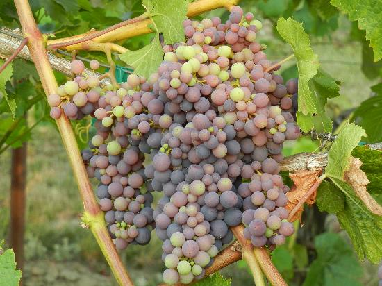 Ankeny Vineyard: Hard to resist not eating them right off the vines