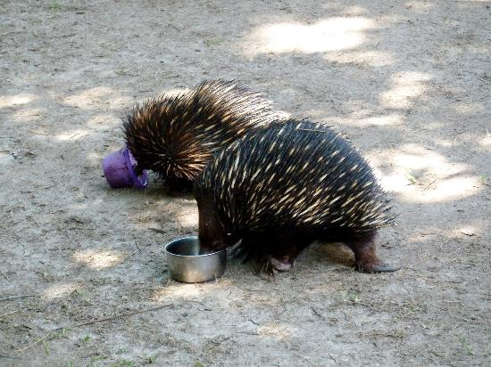 Australia Zoo : Little Echidnas