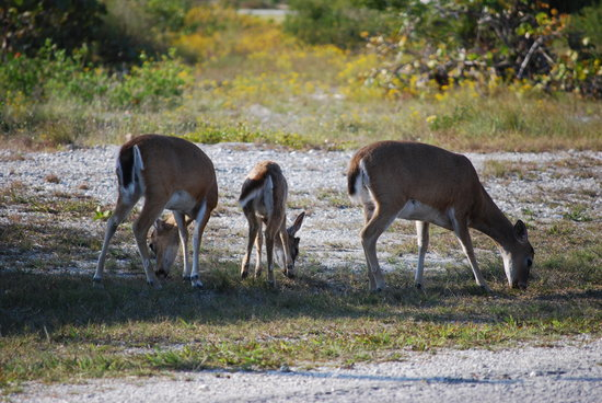 Big Pine Key, FL: Several along Key Deer Blvd