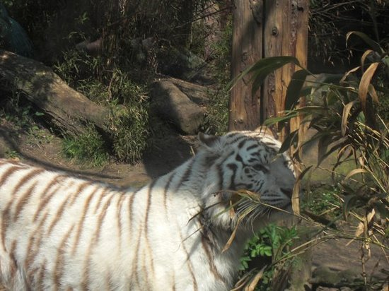 Amersfoort, Países Bajos: A white tiger walking around in its enclose