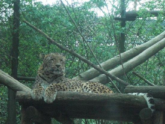 Amersfoort Zoo: The leopard taking it easy