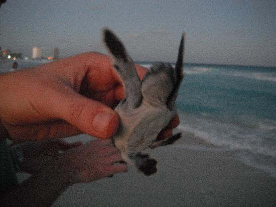 Le Blanc Spa Resort: releasing baby sea turtles!