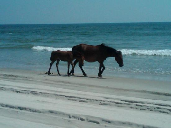 Carova Beach: wild horses on the beach