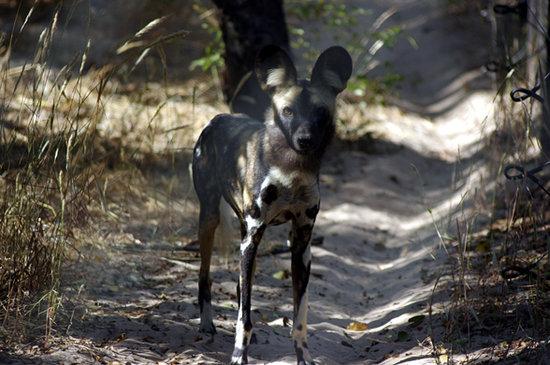 Hwange, Zimbabwe: il licaone