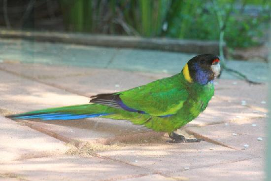 Waterfall Cottages: A parrot on the verandah