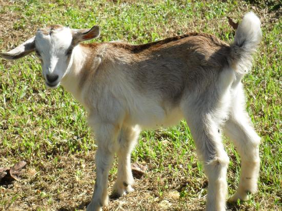 Namuka Bay Lagoon Resort: Cute goats