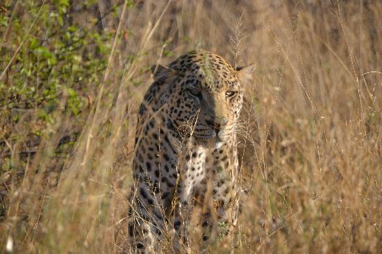 Namibia: Leopard at Africat Foundation