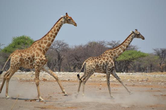 Namibia: Giraffes running at Etosha