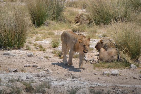 Namibia: Lions in Etosha