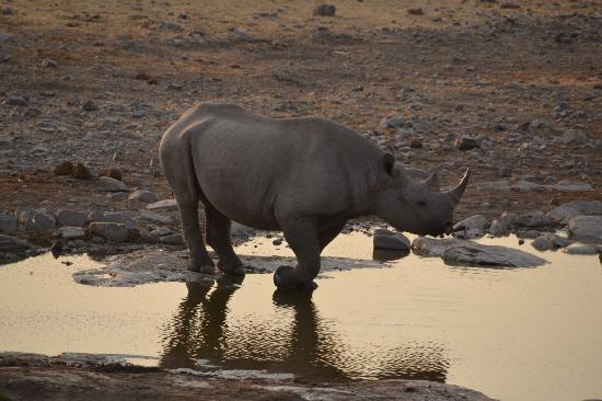 Namibya: Rhino at Halali waterpoint