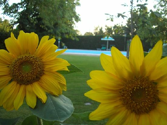 Podere Le Manzinaie: our sunflowers by the pool