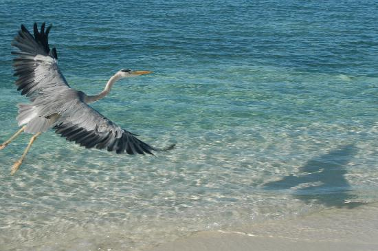 Asdu Sun Island: UCCELLO MALDIVIANO