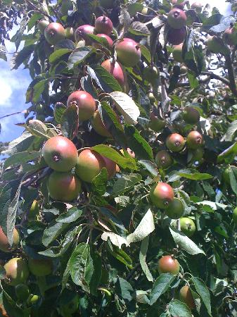 Orchard fruits at May Hill View