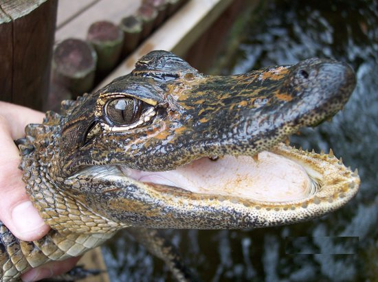Tigertail Airboat Tours : Gator Smile
