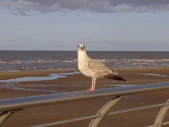 Premier Inn Blackpool (Beach) Hotel: Steven Seagull