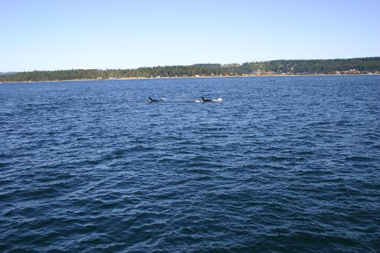Expeditions NW: Orcas